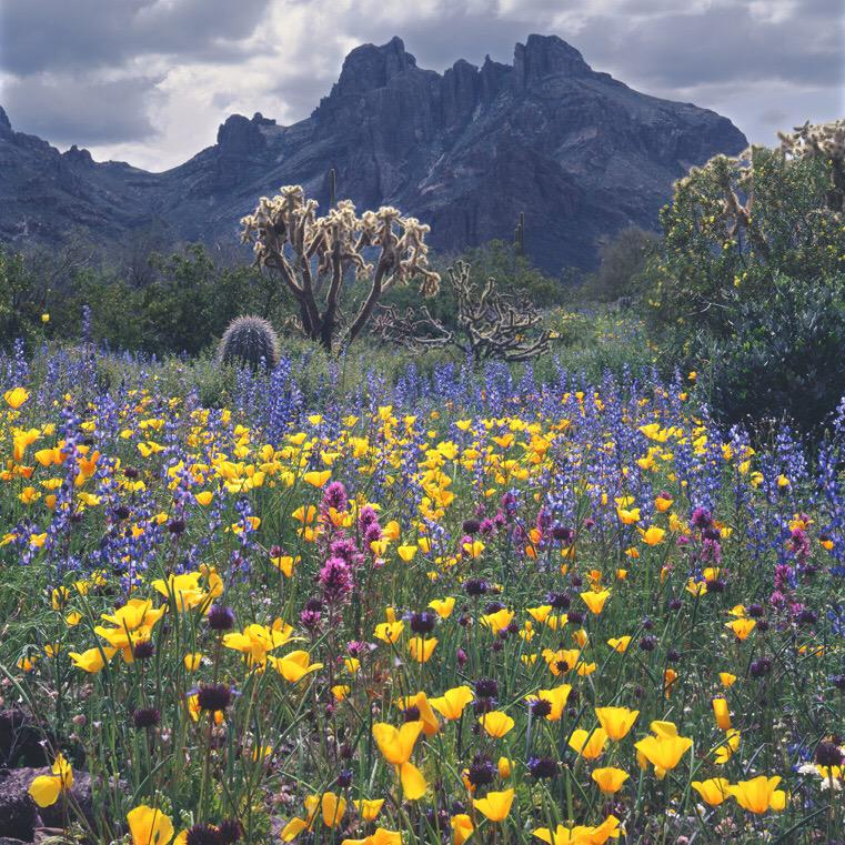 Located in south Arizona, Organ Pipe Cactus protects 516 square miles of Sonoran Desert. In the spring, the park's landscape is carpeted in wildflowers — like yellow poppies, blue lupine and magenta common owl's clover. Photo: Ed Cooper. Tweeted by the US Department of the Interior, 3/30/15.