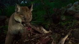 P-33 (female) ripping at the skin to get to the meat. Mountain lions feed on deer by entering the abdominal cavity first and eating the insides, such as the liver and the heart.