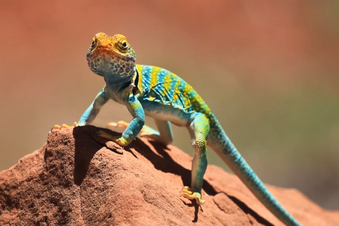 Collared Lizard from Dominguez-Escalente National Conservation Area in Colorado. Photo by Bob Wick, BLM. Posted on Tumblr by the US Department of the Interior, 3/3/15.