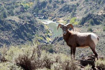 Bighorn Sheep from Rio Grande del Norte National Monument in New Mexico. Posted on Tumblr by the US Department of the Interior, 3/3/15.
