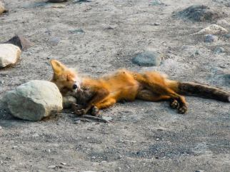 With a rock for a pillow! Sleeping fox in the Donoho Basin in Wrangel St. Elias National Park and Preserve. Posted on Tumblr by the US Department of the Interior, 3/14/15.
