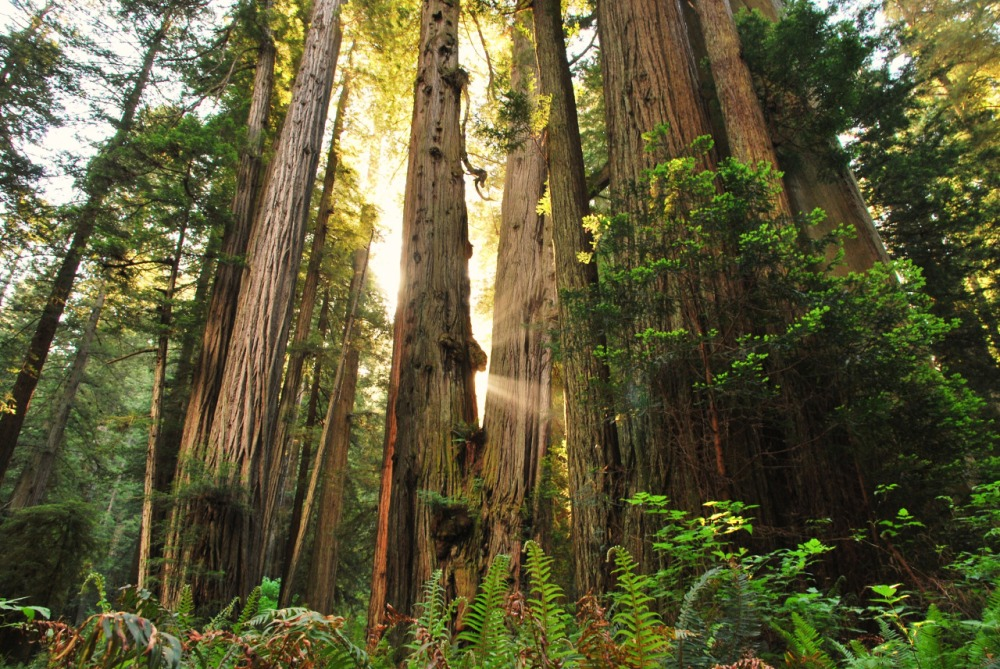Redwood National and State Parks in California protect forests, vast prairies, oak woodlands, wild riverways, and nearly 40 miles of pristine coastline as part of the ancient coast redwood forest ecosystem. But most visitors come to see the majestic redwoods, which can exceed 300 feet in height. Photo by Jessica Watz. Posted on Tumblr by the US Department of the Interior, 4/24/15.