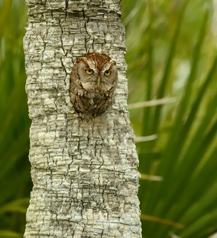 Screech Owl - with attitude - at Florida's Merritt Island National Wildlife Refuge. Tweeted by the US Department of the Interior, 4/21/15.