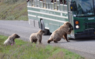 Karl Persson captured this shot of a mama bear (with her two bear cubs in tow) knocking on a bus door in Denali National Park. Posted on Tumblr by the US Department of the Interior, 5/25/15.