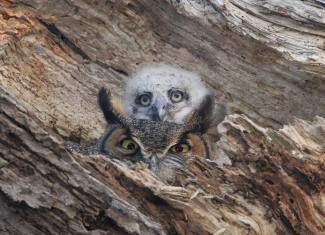 We've got our eyes on you! Baby great-horned owl & its mama. Photo by Richard Crossley. Tweeted by the US Department of the Interior, 5/19/15.