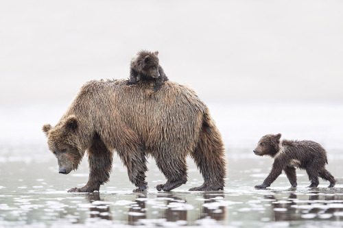 What's more fun ... the look back by the cub on top of Mom, to make sure the sibling knows what he's done? Or the bedraggled look of Mom, shouldering one more burden of parenthood? Posted on Tumblr by the US Department of the Interior, 5/10/15.
