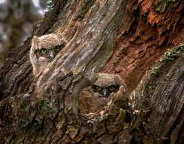Located near the southern border of Washington – just a short distance from Portland – Ridgefield National Wildlife Refuge is a must visit in the Pacific Northwest. This 5,217-acre wildlife refuge contains a mosaic of riverine flood plain habitat, making it ideal for birdwatching. Donna Torres snapped this photo of two great horned owl fledglings keeping a watchful eye on her while visiting Ridgefield. Posted on Tumblr by the US Department of the Interior, 6/4/15.