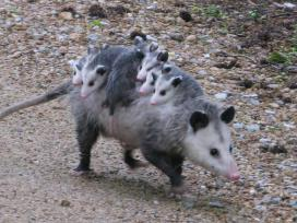 A Mama Opossum is the commuter train for her family, in Arkansas' Wapanocca National Wildlife Refuge. Tweeted by the US Department of the Interior, 6/18/15.