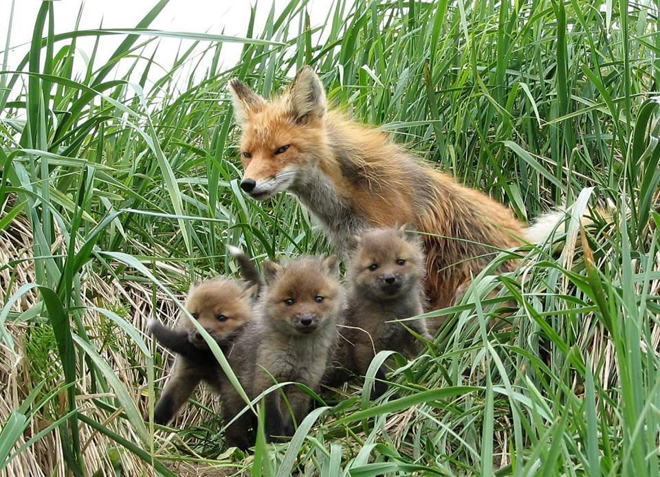 Togiak Fox 01