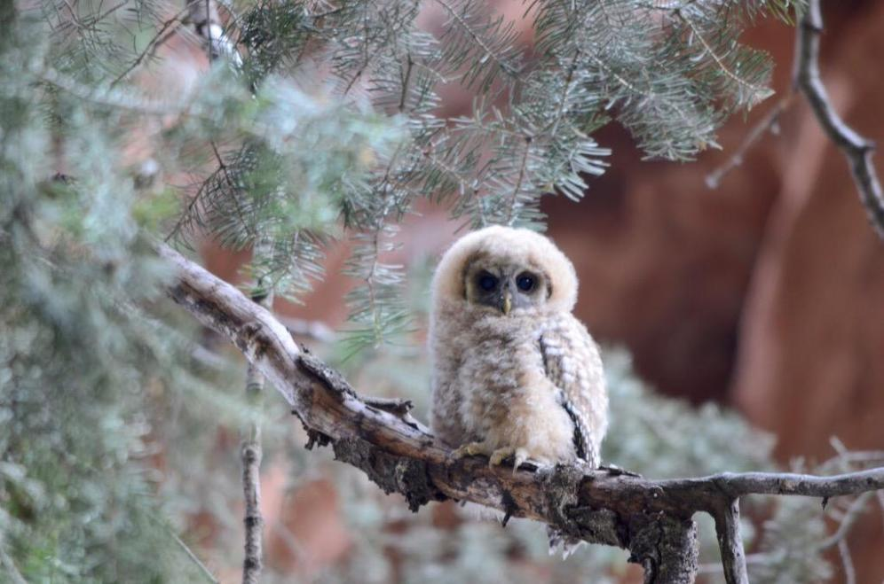 Here is an adorable Mexican Spotted owlet found at Zion National Park in Utah. Zion is critical habitat for the Mexican spotted owl, a species classified as threatened on the federal level. Tweeted by the US Department of the Interior, 9/4/15.