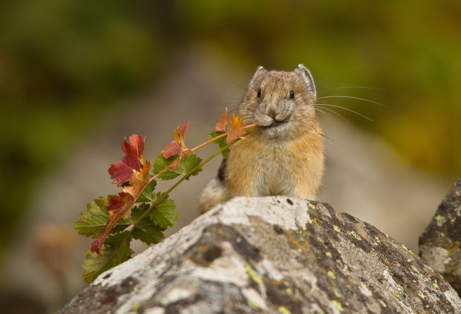Pika. Tweeted by the US Department of the Interior, 11/19/15.