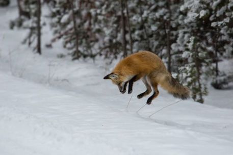 This fox is diving for its dinner. Tracking mice under the snow, the fox will leap up and land on its prey, taking it by surprise. It's an effective, and entertaining, performance. Just one of the many wonders you can see at Yellowstone National Park in Wyoming. Posted on Tumblr by the US Department of the Interior, 12/2/15.