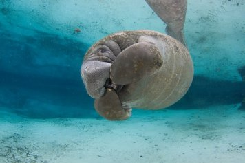 "Manatees, AKA Sea Cows, graze on grasses along the coastal waterways. In a huge win, their population has blossomed under protection while listed as an endangered species, leading the US to propose that they be moved to the ""threatened"" list. Posted on Tumblr by the US Department of the Interior, 1/7/16."