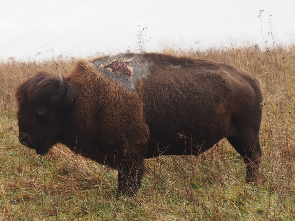 This is Sparky, one tough bison at Neal Smith National Wildlife Refuge in Iowa. In summer 2013, Sparky was struck by lightning on his shoulder hump. Not expected to survive at first, Sparky has thrived since his recovery. Posted on Tumblr by the US Department of the Interior, 1/8/16.