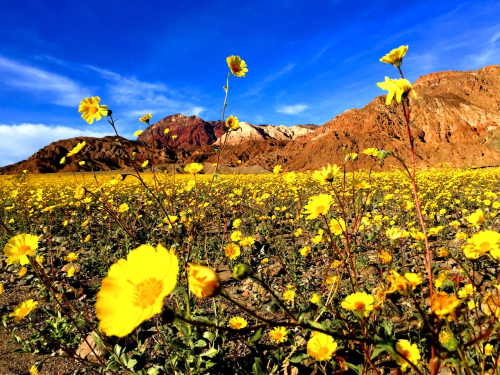 Death Valley National Park is alive with color with this year's rare superbloom. Wildflowers blanket the desert landscape in a sea of gold, purple and white. Higher than usual amounts of rain last fall helped create this year's incredible wildflower display – the best since 2005. To catch these spectacular colors in person, head to the park before mid-March. Photo courtesy of Lauren Schroeder. Posted on Tumblr by the US Department of the Interior, 2/27/16.