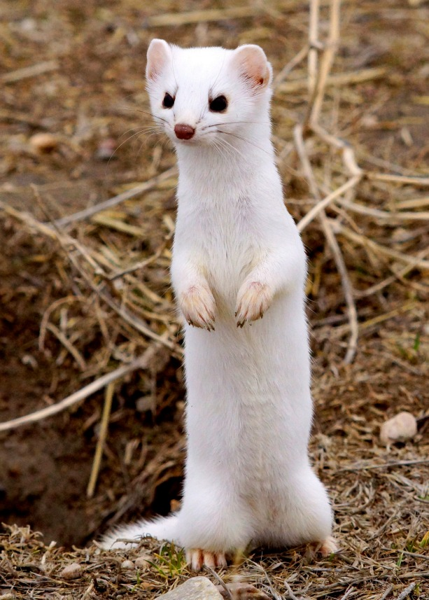 This cute little guy is a long-tailed weasel at Bear River Migratory Bird Refuge in Utah. While he might look sweet, the long-tailed weasel is fierce. The sharp teeth, keen eyesight and scrappy character make this species a highly skilled predator. During the winter, their fur changes from brown to white to better protect them. Photo by Jana M. Cisar, USFWS. Posted on Tumblr by the US Department of the Interior, 2/5/16.