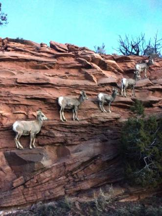 Once endangered and wary of human contact, the small number of desert bighorn sheep in Colorado National Monument are often hard to find, making this picture incredible and unique. Photo by Molly Murphy, National Park Service. Posted on Tumblr by the US Department of the Interior, 2/22/16.