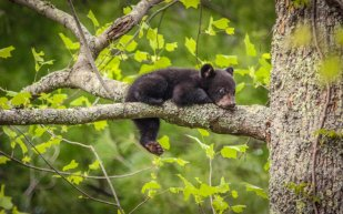Doesn't get cuter than this: A baby bear lounging in a tree in Tennessee's Great Smoky National Park. Photo by by Matt & Delia Hills. Tweeted by the US Department of the Interior, 3/25/16.