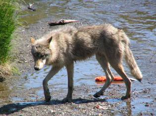 Wolves are opportunistic animals and will make an appearance in populated areas from time to time, to capitalize on an easy meal. A wolf pack's territory can range up to 1,000 miles, and they have been known to travel even further in pursuit of caribou herds. From Katmai National Park's Facebook page.