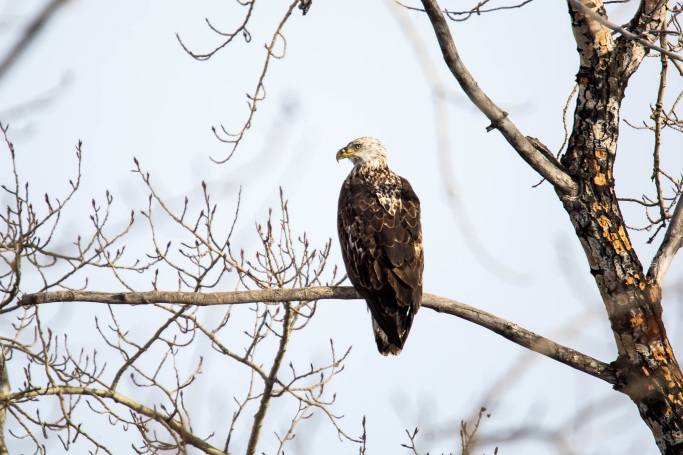Young Bald Eagles are often confused for golden eagles. Eagles reach full adult plumage in about 5 years. Photo by David Mitchell. Tweeted by the USFWS Midwest on 4/10/16.