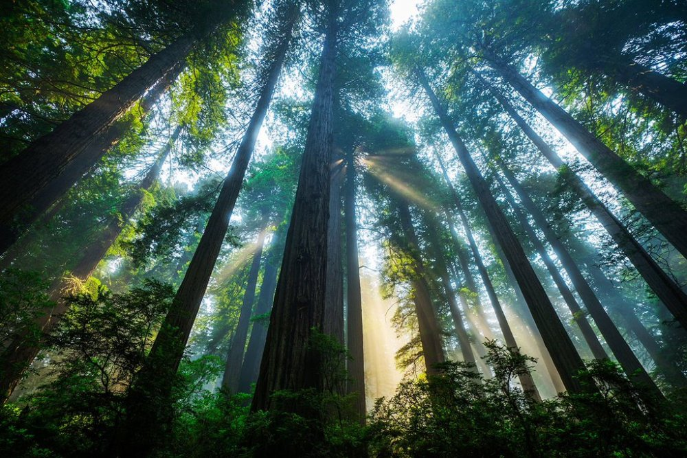 Sunlight streams through the towering trees at California's Redwood National Park. Stunning photo by Michael Bonocore. Tweeted by the US Department of the Interior, 4/3/16.