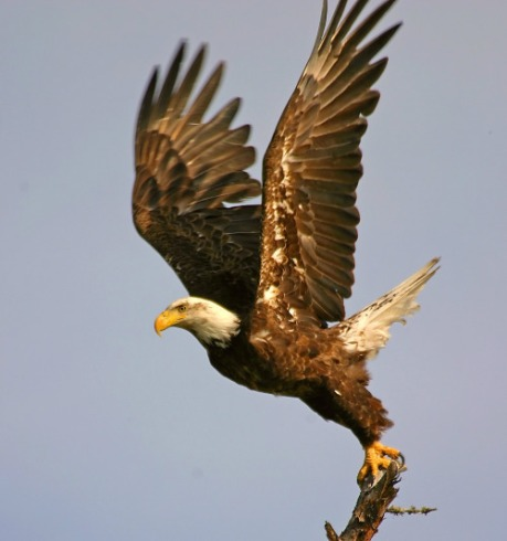As a national symbol, the majestic Bald Eagle appears on everything from money to memorials, but decades ago, it almost disappeared completely. Because of the ban on the pesticide DDT and habitat protection, the Bald Eagle is now flourishing across the nation and no longer needs the protection of the Endangered Species Act. It's a great Wildlife Win and one more reason to celebrate eagles and all they represent. Photo by U.S. Fish and Wildlife Service Midwest. Posted on Tumblr by the US Department of the Interior, 6/20/16.