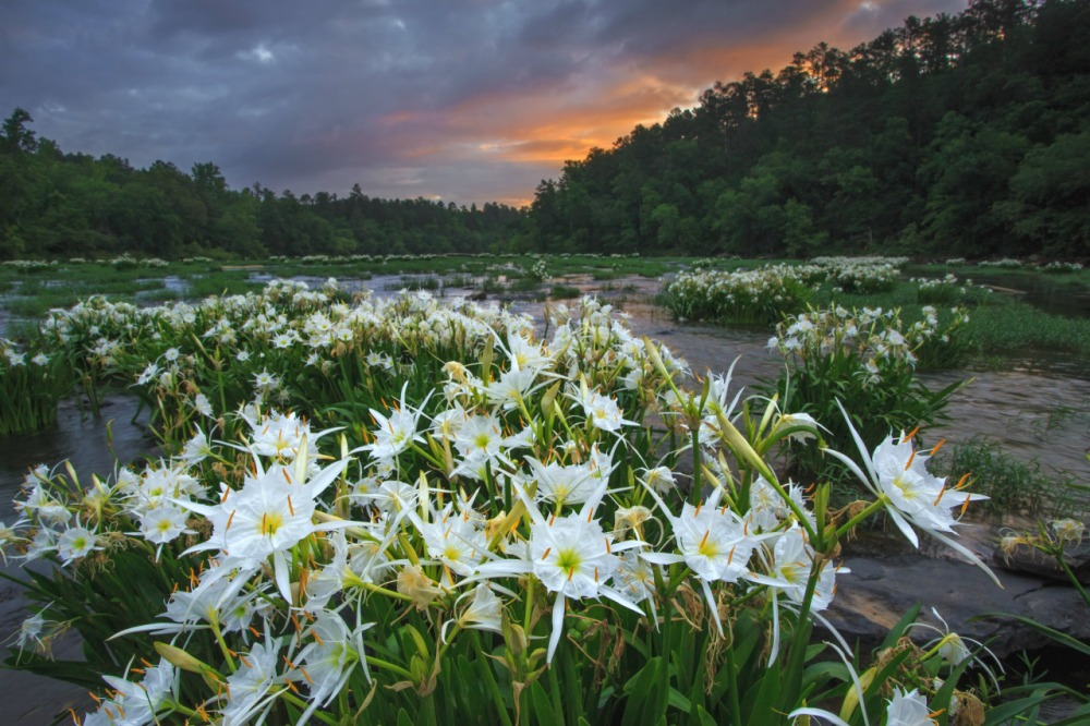 Cahaba River National Wildlife Refuge in Alabama supports 64 rare and imperiled plant and animal species – 13 of which are found nowhere else in the world. It's home to the largest known stand of Cahaba lilies, a beautiful plant that begins to bloom around Mother's Day. It's always a magnificent display. Photo by Keith Bozeman. Posted on Tumblr by the US Department of the Interior, 5/6/16.