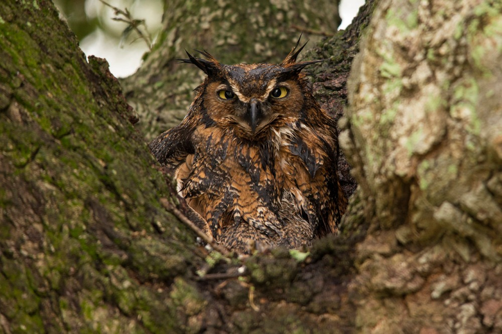 The largest of the eared or tufted owls in North America, the great horned owl is a wonderful and fascinating bird. Covered in extremely soft feathers that insulate them against cold weather and help them fly very quietly in pursuit of prey, their short, wide wings allow them to maneuver among the trees of the forest. Rarely seen because of their camouflage coloring, their calls are familiar across the U.S. Photo by Dennis Demcheck, U.S. Geological Survey. Posted on Tumblr by the US Department of the Interior, 5/16/16.