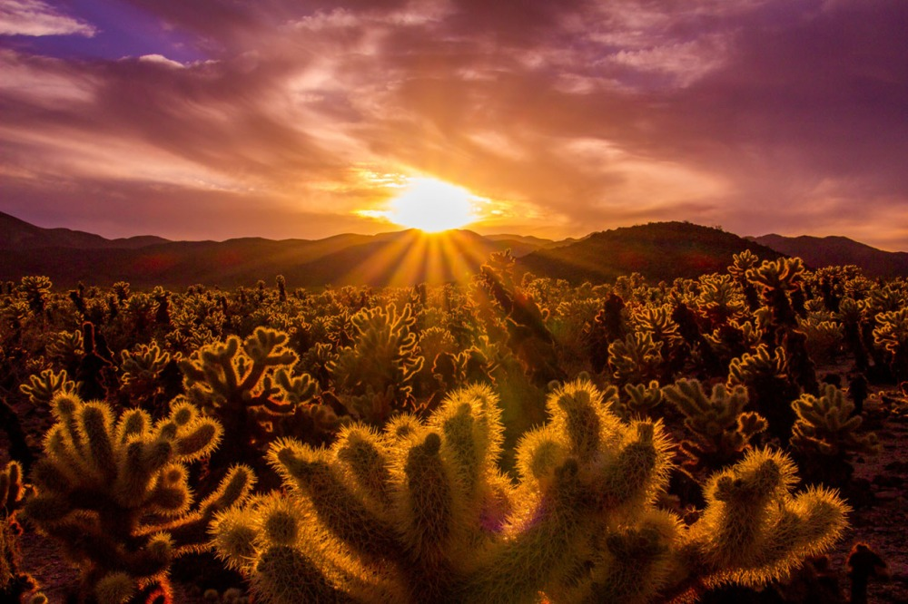 "While Joshua Tree National Park is known for its twisty, spikey Joshua trees, the park is home to so much more! In this southern California landmark, three distinct ecosystems come together to create extraordinary diversity. It also has some pretty amazing views, like this one of sunset over the ""jumping"" cholla cactus garden. Photo by Nina Mayer Ritchie. Posted on Tumblr by the US Department of the Interior, 5/29/16."