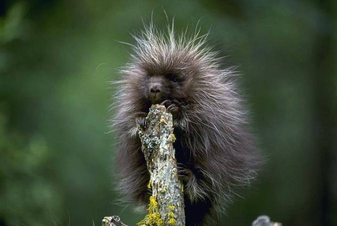 Did you know a baby porcupine is called a porcupette? These cute critters have soft hair mixed with barbed quills that stick up when they feel threatened to deter predators. Porcupines sleep in trees and feed on the inner bark, twigs and leaves. They live to be 5-6 years old and have one or two young, which are born with soft quills that harden within an hour. Photo courtesy of California Department of Fish and Wildlife. Posted on Tumblr by the US Department of the Interior, 5/31/16.