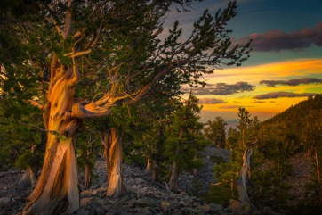 Sunset photo of the Bristlecone Pines in Nevada's Great Basin National Park. Photo by Thomas Sikora. Posted on Tumblr by the US Department of the Interior, 6/22/16.