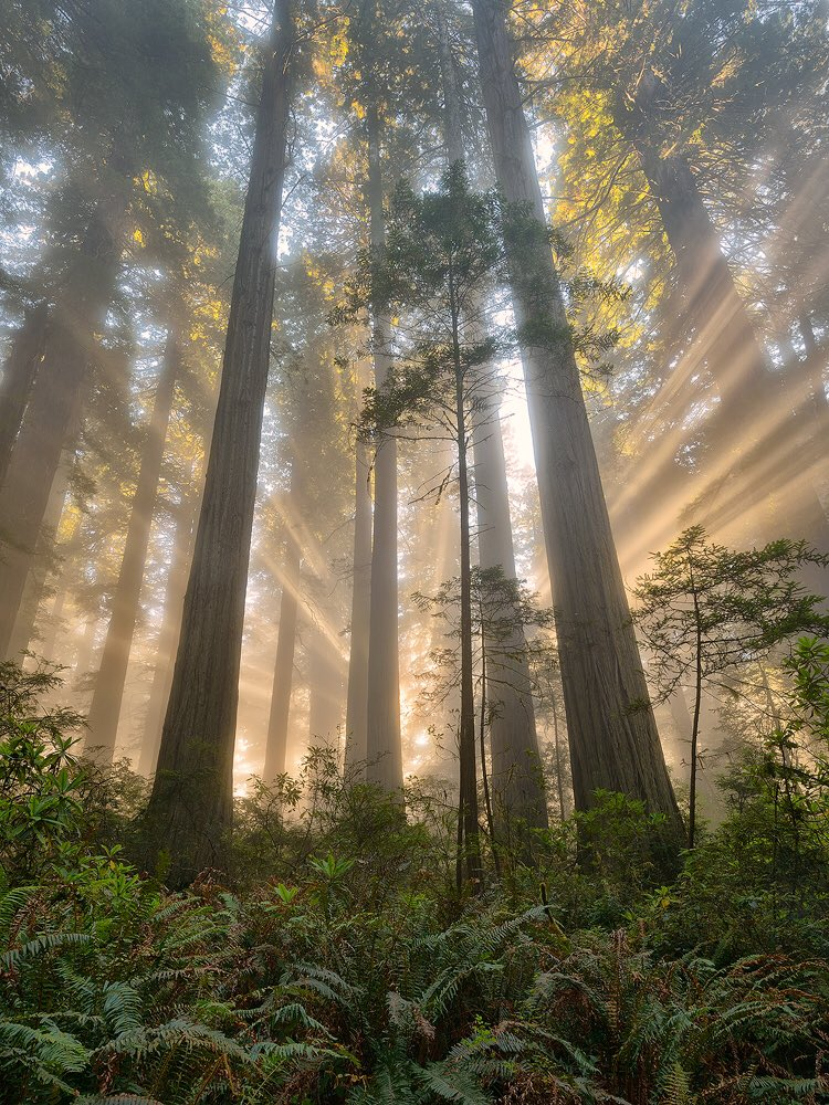 Sunrays shining through towering trees at California's  Redwood National Park. Photo by Michael Ryan. Tweeted by the US Department of the Interior, 6/2/16.