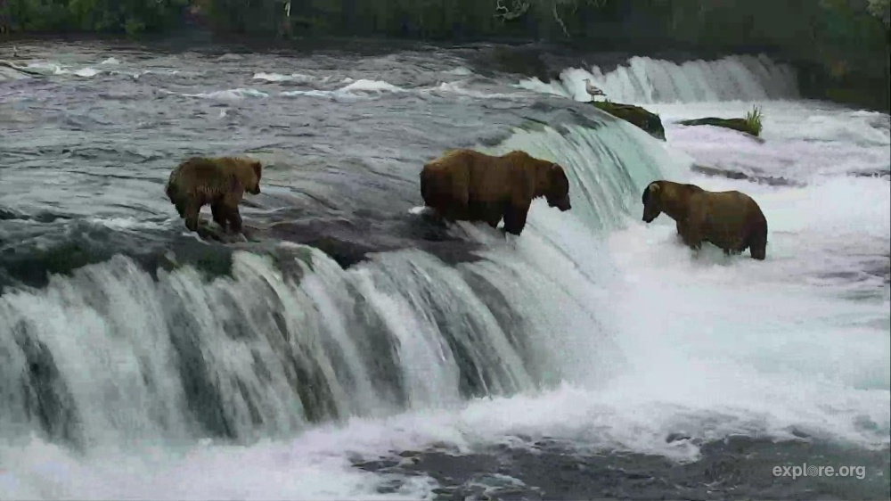 Mom's teaching the youngster how to fish at Brookes Falls. Katmai National Park, from the explore.org. Shot from the live webcam on 7/6/16.