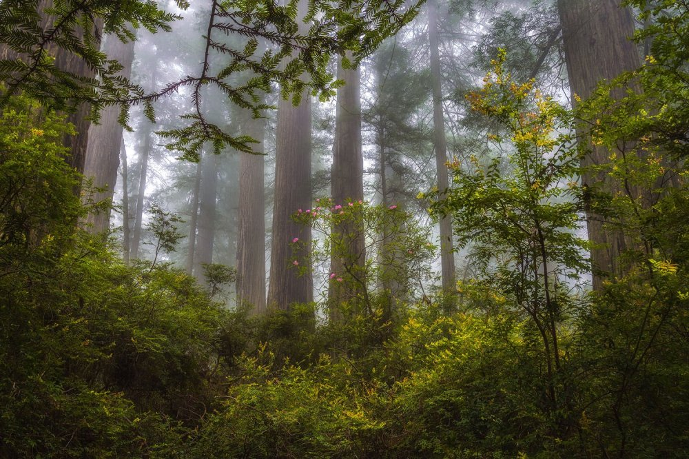 California's Redwood National Park is entwined with a State Park of the same name. You will not regret your visit. Photo by Michael Bandy. Tweeted by the US Department of the Interior,