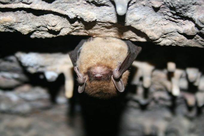 The little brown bat lives up to its name. It weighs only a 1/4-1/3 of an ounce, is about 2 inches long and has a 6-inch wingspan. Photo by Ann Froschauer, USFWS. From the US Department of the Interior blog.