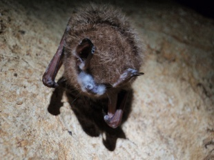 Bats have few natural predators -- disease is one of the biggest threat. Owls, hawks and snakes eat bats, but that's nothing compared to the millions of bats dying from White-Nose Syndrome. The disease -- named for a white fungus on the muzzle and wings of bats -- affects hibernating bats across eastern North America, and was recently discovered in Washington State. More than 5.5 million bats have died so far from White-Nose Syndrome. Scientists are working to understand the disease, which this tri-colored bad is suffering from. Photo from the US Department of the Interior blog.