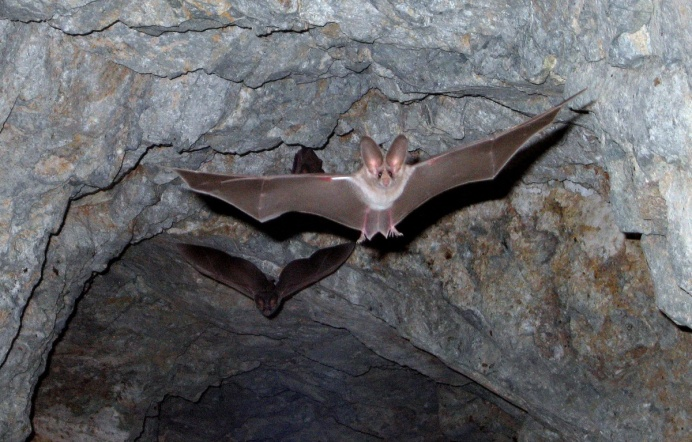 California leaf-nosed bats exit a cave at Joshua Tree National Park. You can easily distinguish these bats by their leaf-like noses and large ears. Photo by Kristen Lalumiere, National Park Service. From the US Department of the Interior blog.