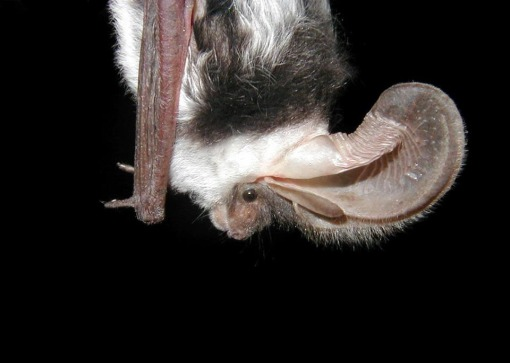 The spotted bat gets its name from its distinct appearance of black and white spotted fur. Another interesting fact about the spotted bat -- it has the largest ears of any North American species. Photo by Paul Cryan, USGS. From the US Department of the Interior blog.