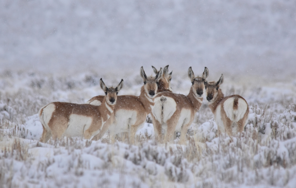 Pronghorns in snowstorm on Seedskadee National Wildlife Refuge. Photo by Tom Koerner/USFWS. Posted on Flickr.
