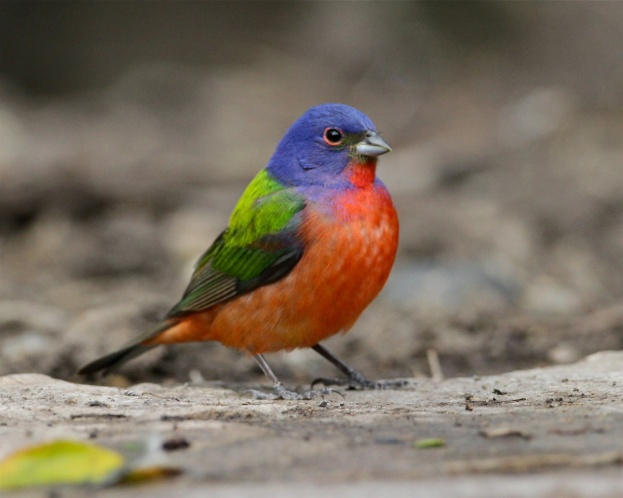 Painted bunting standing on the forest floor at Laguna Atascosa National Wildlife Refuge in Texas. Photo by Steve Sinclair. Blogged by Department of the Interior.