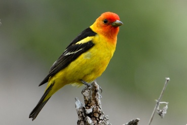 Western Tanager perched on a tree branch. Blogged by Department of the Interior.