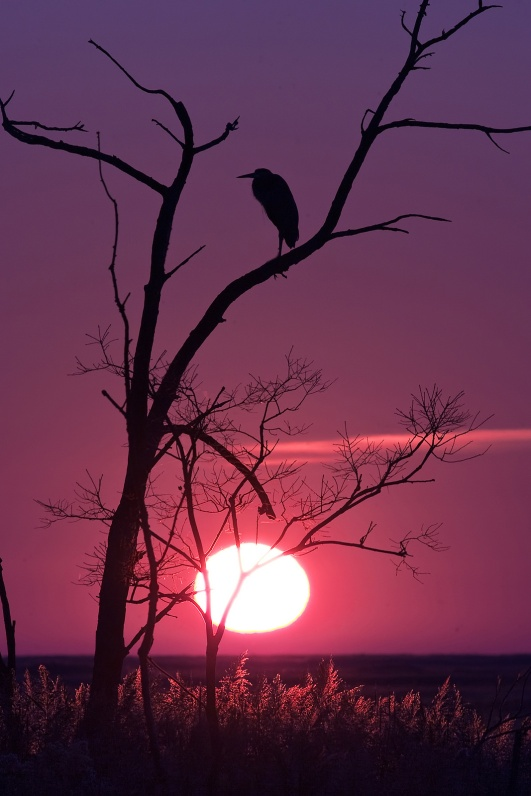 This heron at Bombay Hook National Wildlife Refuge in Delaware has the right idea. It's always nice to find a good perch and enjoy the peaceful beauty of a fall sunset. Photo by Tim Williams, U.S. Fish and Wildlife Service. Posted on Tumblr by the US Department of the Interior, 12/12/16.
