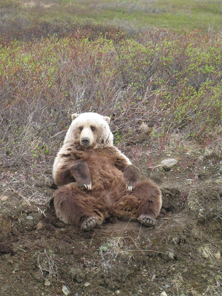 Beat in Denali National Park enjoying letting it all hang out. Tweeted by the US Department of the Interior, 11/25/16.
