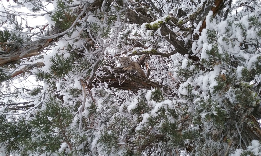 "You see some amazing things on America's public lands, like this cute little bobcat hanging out within the snow-covered trees in eastern Oregon. Can you spot it? While common, bobcats are rarely seen. Sometimes called wildcats, bobcats are roughly twice as big as the average house cat. They have long legs, large paws, and tufted ears, and gets its name for its tail, which appears to be cut or ""bobbed."" Photo by Kevin Eldredge. Posted on Tumblr by the US Department of the Interior, 12/30/16."