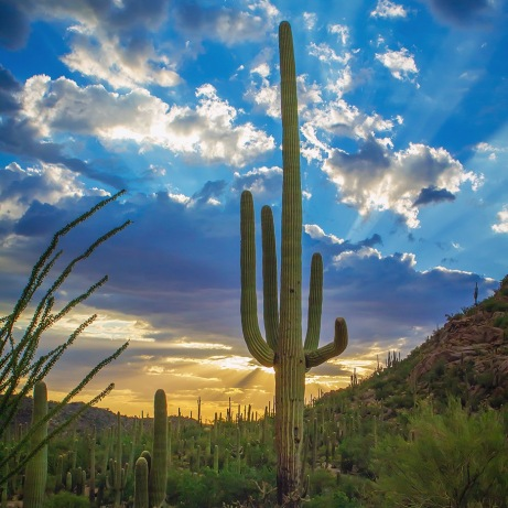 Few sights evoke the American West more than the saguaro cactus, found only in the Sonoran Desert. Saguaro National Park, close to the urban center of Tucson, Arizona, protects these majestic cacti. At the park, you can hike through fantastic desert scenery year-round. Sunset photo byDavid Olsen. Posted on Tumblr by the US Department of the Interior, 12/16/16.