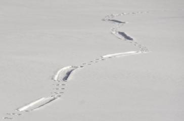 A Northern river otter leaves behind tracks in the snow on Seedskadee NWR. Hop, hop, hop, hop, slide, hop, hop, hop, slide. Photo: Tom Koerner/USFWS. Posted on Flickr by the US Fish & Wildlife Service, 1/3/17.