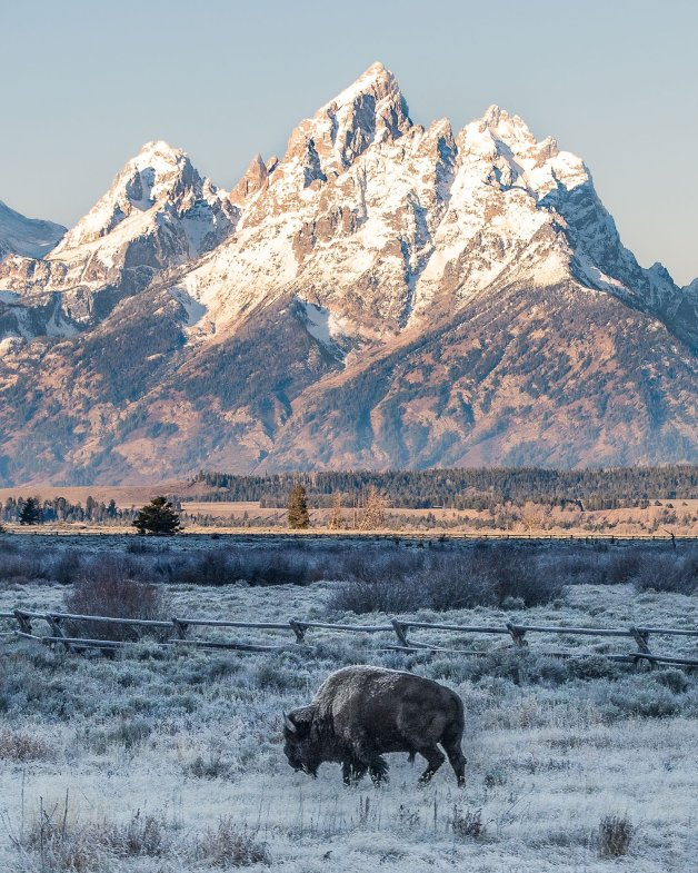 A bison in Grand Teton National Park. Tweeted by the US Department of the Interior, 1/8/17.