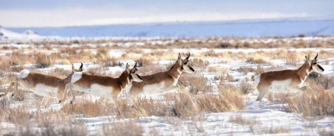 The pronghorn antelope is the fastest animal in North America. Photo by Tom Koerner/USFWS. Tweeted by the US Fish & Wildlife service, 1/20/17.