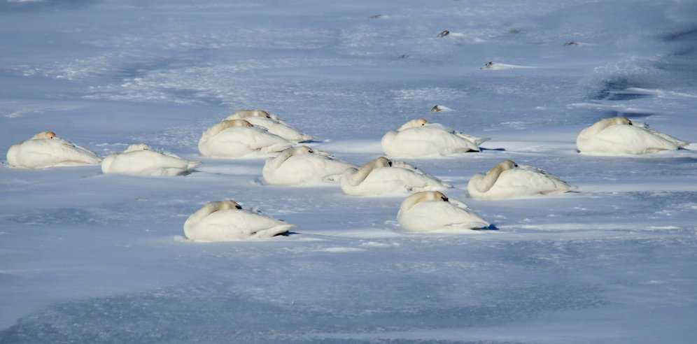 Eleven trumpeter swans a-sleeping on the ice shelf next to the Green River at Seedskadee National Wildlife Refuge. Photo by Tom Koerner/USFWS. Tweeted by the US Fish & Wildlife Service, 1/10/17.
