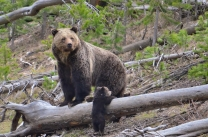 Grizzly Bear with cub in Yellowstone National Park. Photo by Frank van Manen / USGS. Posted on Flickr by the US Department of the Interior.